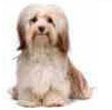 Find Havanese Gifts & Merchandise