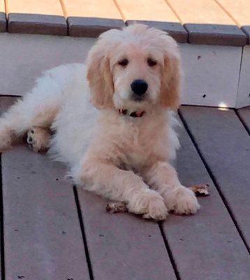 Oliver-the-Goldendoodle-2