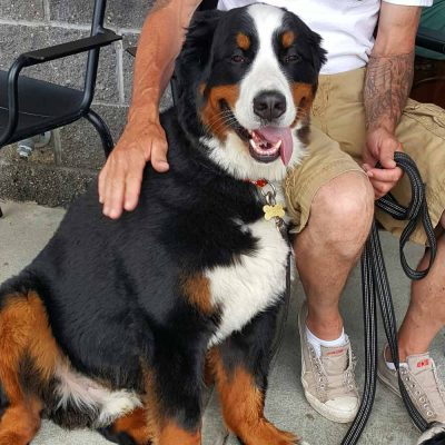 Bernese Mountain Dogs at Starbucks