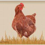 chicken-cutting-board-rhode-island-red