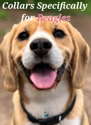 Picture of Beagle with Collar Around it's Neck
