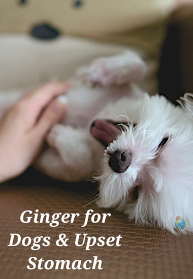 Ginger for Dogs & Upset Stomach