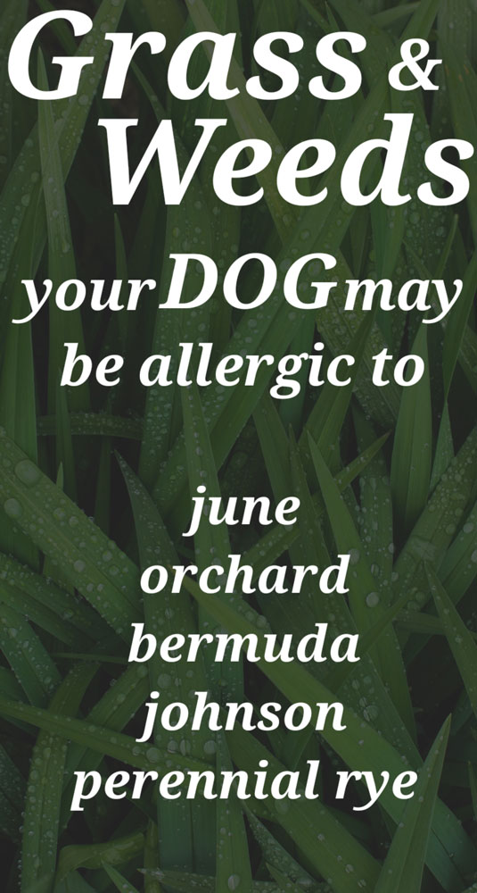 Dog Grass Allergies