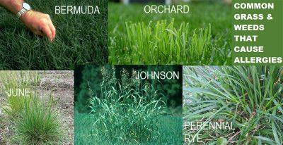 Seasonal Dog Allergies - Grass