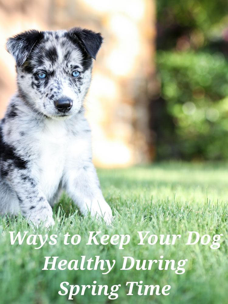 Keep Your Dog Healthy During Spring