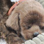Chocolate-Lab-Life-Like-Stuffed-Animal-Breathing-Dog-Perfect-Petzzz-181308636284-2