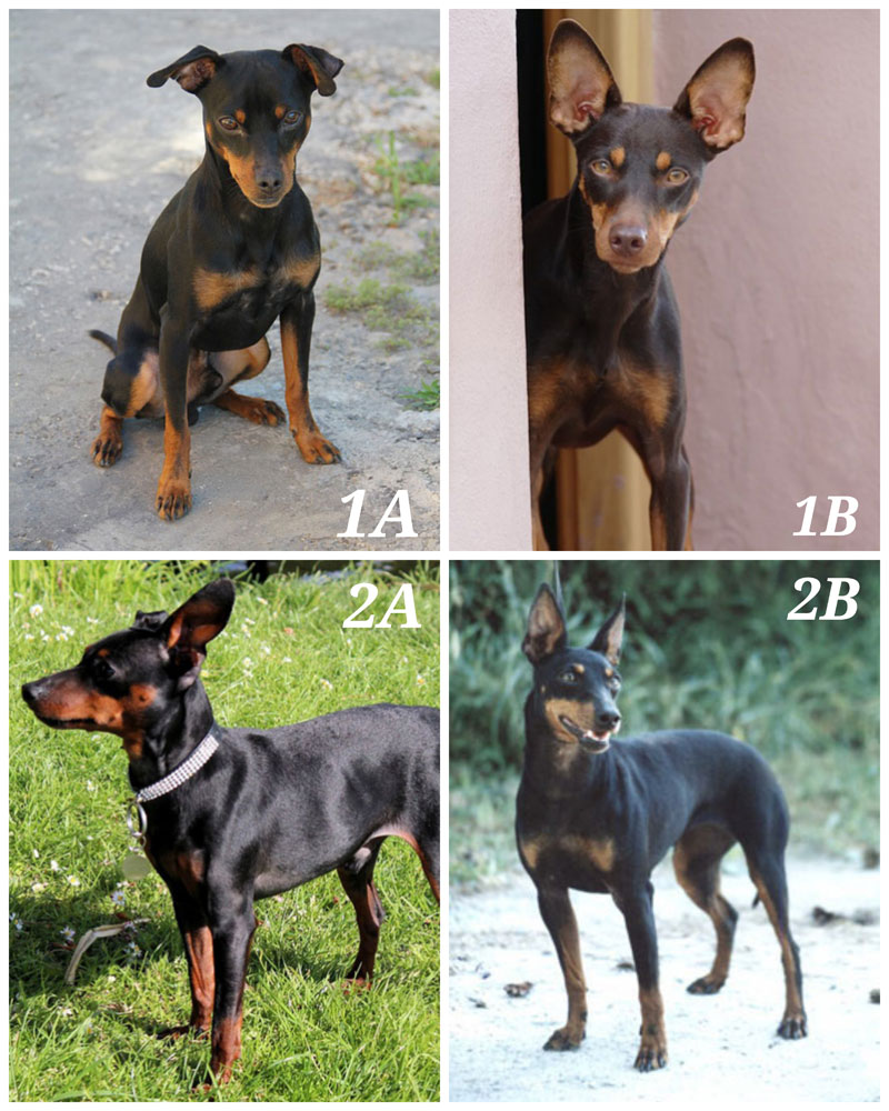 Manchester Terrier Vs Miniature Pinscher Similarities And