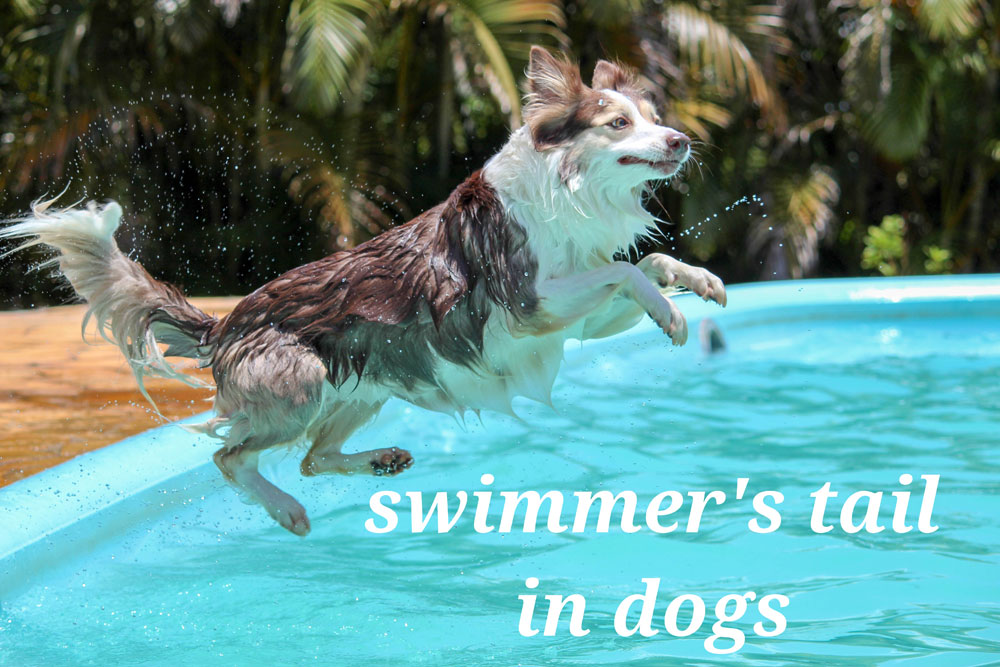 Swimmers Tail In Dogs
