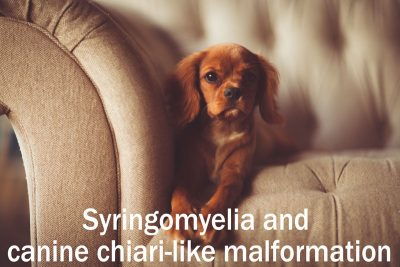 syringomyelia in dogs chiari like malformation