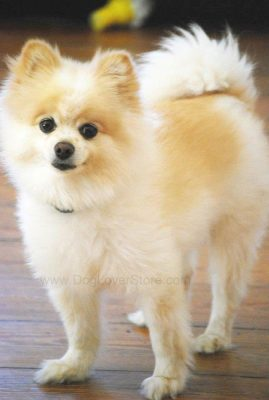 Teddy The Pomeranian