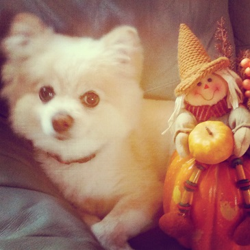 Teddy The Pomeranian Staring on Thanksgiving