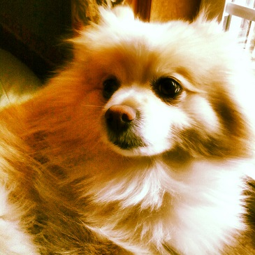 Teddy The Pomeranian Long Haired