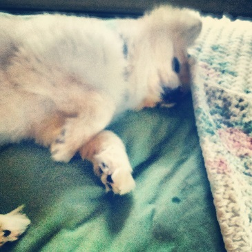 Teddy The Pomeranian Sleeping