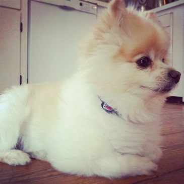 Teddy The Pomeranian Also Known As Lioness