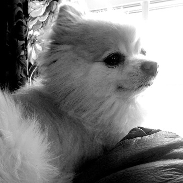 Teddy The Pomeranian Modeling