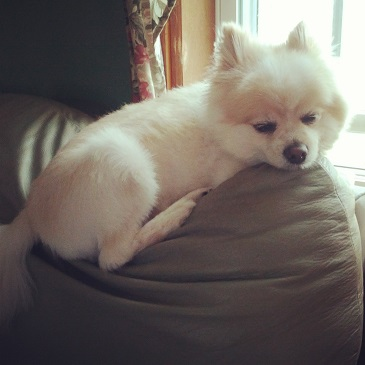 Teddy The Pomeranian Being Lazy