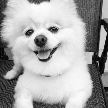 Teddy The Pomeranian In a Chair