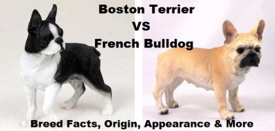 boston_terrier_vs_french_bulldog