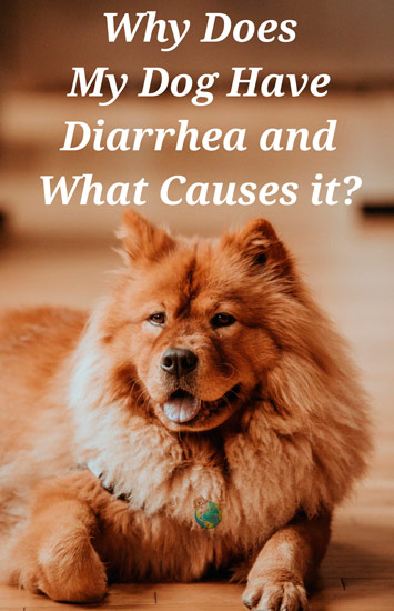 Why Does My Dog Have Diarrhea?